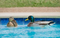 Mallard ducks swimming in swimming pool. A pair of Mallard ducks swimming in residential swimming pool in springtime Stock Image