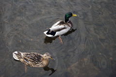 Pair of mallard ducks swimming in the river. Pair of male and female mallard duck floating on the water in the river Royalty Free Stock Image