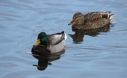 A Pair of Mallard Ducks Swimming Together. A pair of mallard ducks Anas platyrhynchos swimming on a pond in winter Stock Photography