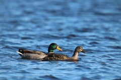 A Pair of Mallard Ducks Swimming Together on a Blue Lake.  Royalty Free Stock Photo