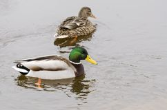 Pair of Mallard ducks swims in river Neris at winter. Pair of Mallard Anas platyrhynchos ducks swims in cold water of river Neris at winter Royalty Free Stock Images