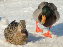 Pair of Mallard Ducks. Two Mallard ducks on snow covered  ground Stock Images