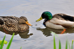 Pair of mallard ducks. Vancouver, canada Royalty Free Stock Photos