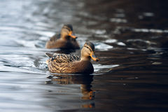 A pair of mallard ducks. Royalty Free Stock Photos