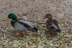 Male and female mallard ducks walking. Pair of mallard ducks walking on leafy ground Royalty Free Stock Image