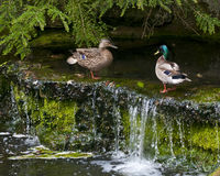 Pair of Mallard ducks on a waterfall Royalty Free Stock Photography