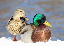 Mallard Duck Mates. A pair of Mallard ducks in winter season.  Snow covered ground and blue water in background Royalty Free Stock Image