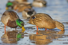 A pair Mallard on icy river. In Lithuania Stock Images