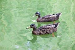 Pair of mallard in water. Pair of mallard swimming in green water Royalty Free Stock Photo