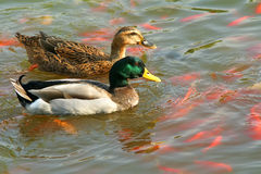 A pair of mallards. Swim on water in park Royalty Free Stock Images