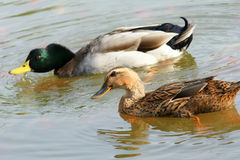 A pair of mallards. Swim on water in park Royalty Free Stock Photos