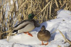 Pair of Mallards. Mallard (Anas platyrhynchos royalty free stock image