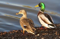 Pair of Mallards. Sunning Royalty Free Stock Photography
