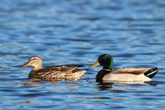 A Pair of Mallards on a Blue Lake. A pair of mallard ducks swimming together on a blue lake Stock Photo