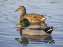 Pair of mallards. Pair of ducks swimming in the pond at sunset quiet Royalty Free Stock Images