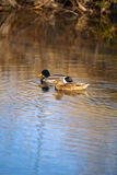 Pair of Mallards in Fall. A male and female mallard swim in a fall stream Stock Photography