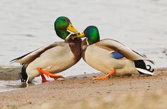 A pair Mallards fighting on icy river. In Lithuania Royalty Free Stock Photography