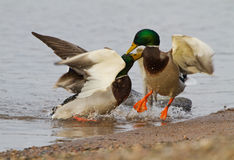A pair Mallards fighting on icy river. In Lithuania Stock Photography
