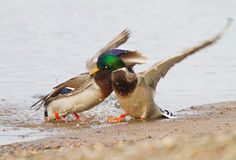 A pair Mallards fighting on icy river. In Lithuania Stock Photos