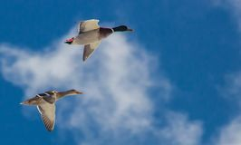 Pair of mallards in flight against a bright blue sky background with broken clouds. Mature hen and drake with full color Royalty Free Stock Image