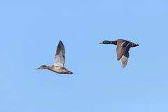 Pair of Mallards in Flight. Pair of Mallards (Anas platyrhynchos) in Flight Against a Blue Sky Stock Photography