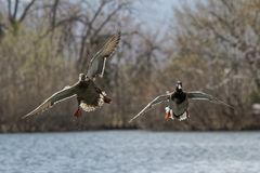 Pair of Mallards Gliding in for a Landing. Male and female mallards on final approach to their favorite spot in the lake Stock Photos