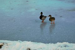 Pair of Mallards on an icy pond. In Boise Idaho in January Stock Photos