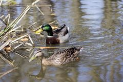 Pair of mallards, male and female, swimming on small pond in sunlight. Water reflections Stock Images