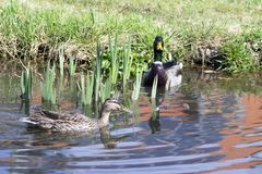 Pair of mallards, male and female, swimming on small pond in sunlight. Water reflections Royalty Free Stock Photos