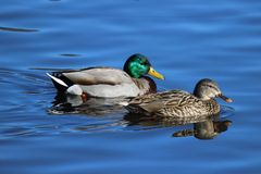 A Pair of Mallards. A pair of mallard ducks swimming together on a lake  the female duck is in front the male duck Royalty Free Stock Photos