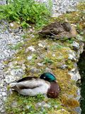 Pair of Mallards. Mallard Pair by the edge of a Pond Stock Image