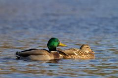 A Pair of Mallards out for a Swim. A pair of mallard ducks Anas platyrhynchos swimming on a blue pond Stock Images