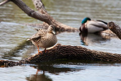 Pair of mallards perched on logs Royalty Free Stock Photography