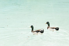 Pair of mallards real bird Royalty Free Stock Photo