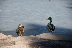 A pair of Mallards sitting on the rocks above their frozen pond stock photos