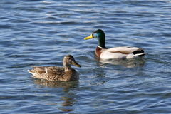 A pair of mallards on the water Stock Photography