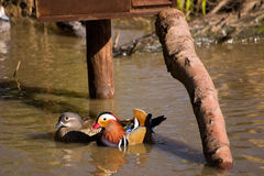 Pair of Mandarin Ducks. A pair of loving and colorful mandarin ducks Stock Image