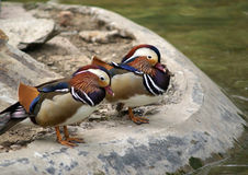 Pair of Mandarin ducks. Side view of pair of mandarin duck on rock with water in background Royalty Free Stock Photos