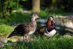 Pair of Mandarin ducks aix galericulata in the green grass –. Pair of Mandarin ducks aix galericulata in green grass – closeup Stock Photography