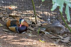 Pair of Mandarin Ducks in Captivity stock photo