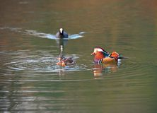 Pair of Mandarin ducks.  Female is eating a frog Royalty Free Stock Photos