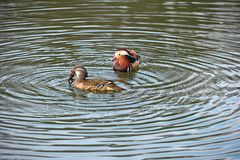 Pair of Mandarin ducks. Female has caught a frog Stock Photos