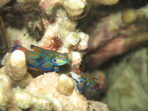 Pair of Mandarin fish Royalty Free Stock Photos