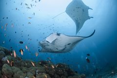 Pair of manta rays swimming elegantly in Maldives stock photos