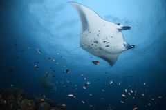 Manta rays gliding over divers in Maldives. Pair of manta rays gliding over divers in Maldives royalty free stock photos