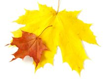 Pair of maple leaves Royalty Free Stock Photo