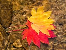 Pair of maple leaves in forest stream. Red and yellow fall maple leaves floating in forest water stream Royalty Free Stock Photos