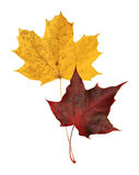 Pair of maple leaves Stock Photo