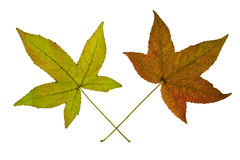 Pair of Maple Leaves on White Background. Two Maples Leaves Isolated on White Background Stock Images