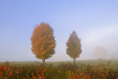 Pair of maple trees in the autumn mist. Stock Photos